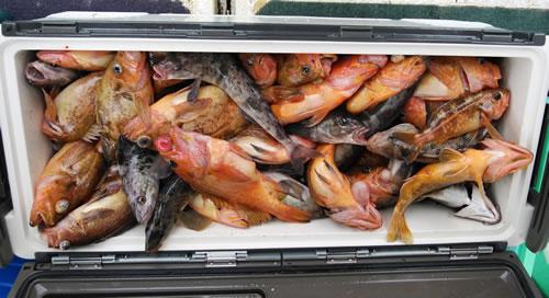 ヤナギノマイ好釣果でした