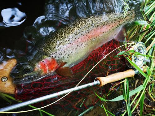 エラの赤色が鮮やかな石澤さんの虹鱒50cm
