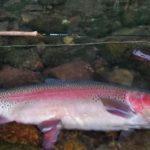 石栗さんがまた60cm超を釣りました