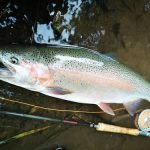 石澤さんの美しい虹鱒、今回は70cm!